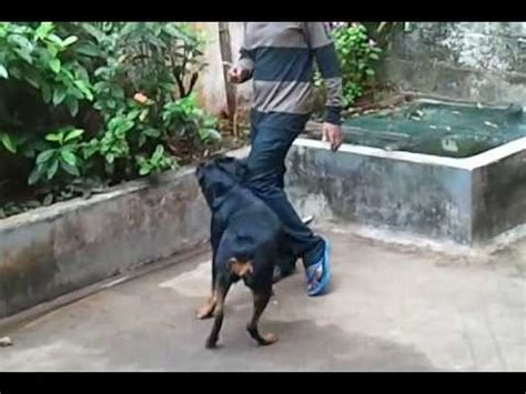 how to your rottweiler to attack on command rottweiler attack