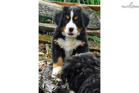 bernese mountain puppies for sale near me bernese mountain for sale for 1 000 near columbia jeff city missouri