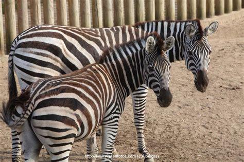 imagenes cebras finest lions are ferocious but zebras are prettier los leones son ms fieros