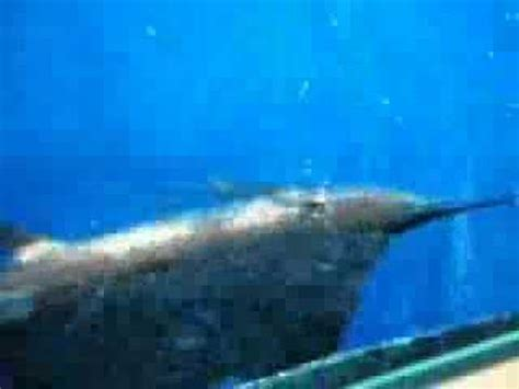 squalo volante pesce pagliaccio e squalo volante radiocomandato il