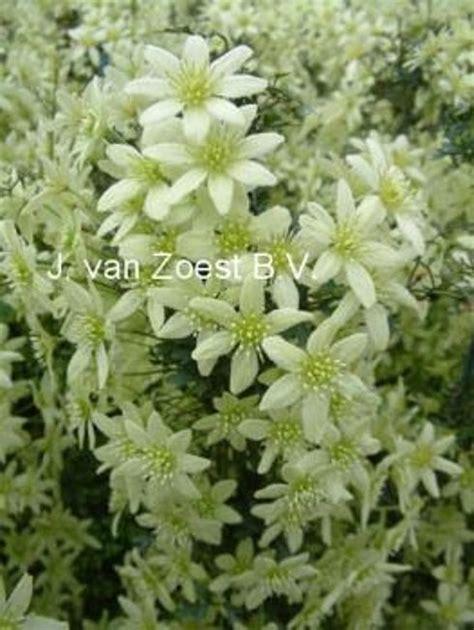 Balkonpflanzen Winterhart Immergr N 4092 by Clematis Winterhart Immergr 252 N Clematis Efeu Und