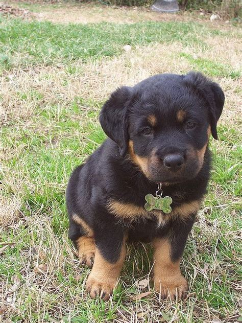 rottweiler german names best 25 german rottweiler ideas on rottweiler rottweiler puppies and