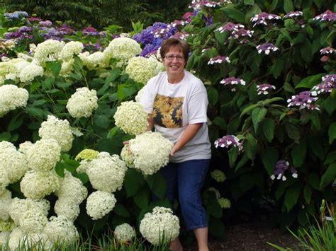 how long do flowers last biggest hydrangea