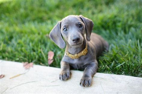 mini weiner blue mini dachshund pets dachshund minis and blue