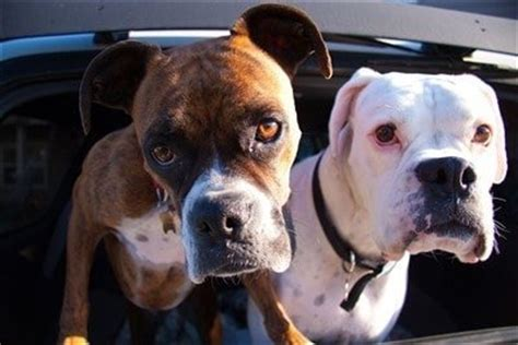 boxer colors fawn boxer information center every boxer topic in the world