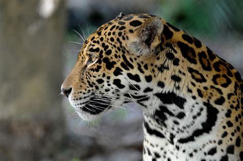 jaguar hr jaguars wcs org