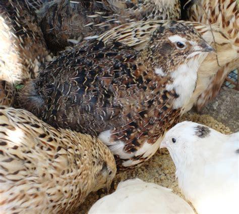raising japanese quail in florida pick me yard