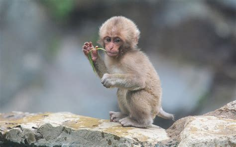 snow monkey facts habitat diet baby pictures