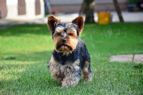 do yorkies hair or fur top 10 dogs with hair not fur