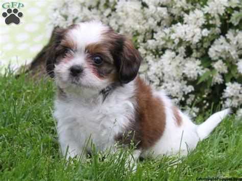 cava shih tzu cava tzu puppy i want it puppies for sale puppys and