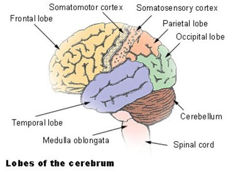 different sections of the brain how to learn the different parts of the brain