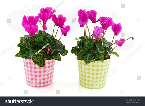 Interior Flower Pots by Pink Cyclamen Interior Checkered Flower Pots Stock Photo