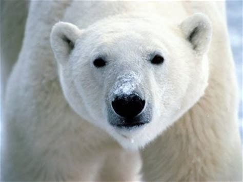 polar skin color what colour is the polar s skin the animals trivia