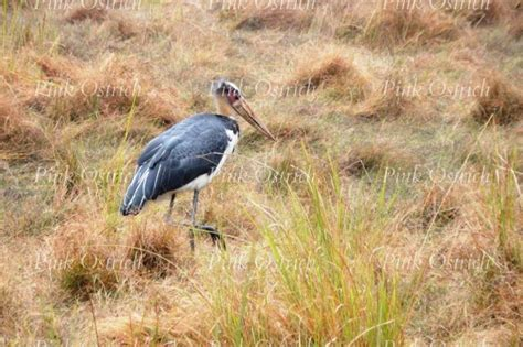 royalty free images indian stork