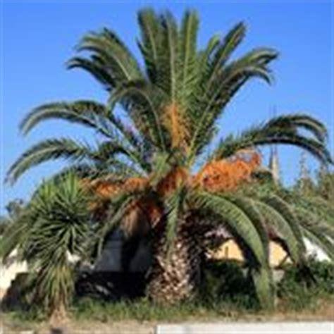tipi di palme da giardino palme da giardino alberi latifolie tipi di palme da