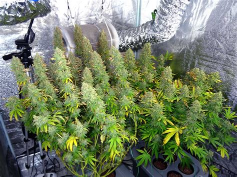 best light for marijuana how to make the best growing environment grow weed easy