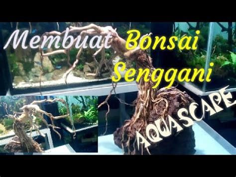 membuat bonsai sederhana akar senggani  aquascape