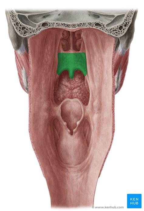 soft palate anatomy function  muscles kenhub