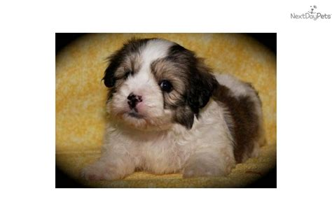 yorkie poo puppies for sale in oklahoma yorkiepoo yorkie poo for sale for 850 near tulsa oklahoma 95483aa3 1361