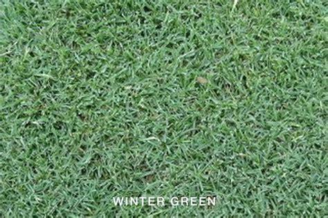 green couch grass winter green