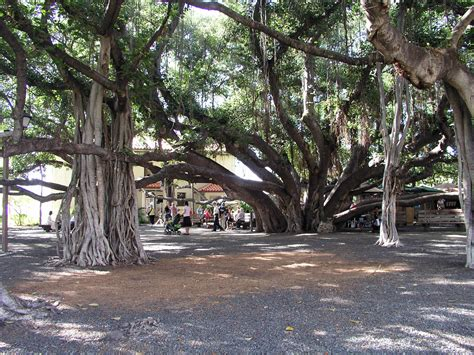 lighting of the banyan tree lahaina the banyan tree maui hawaii 900x900 earthporn