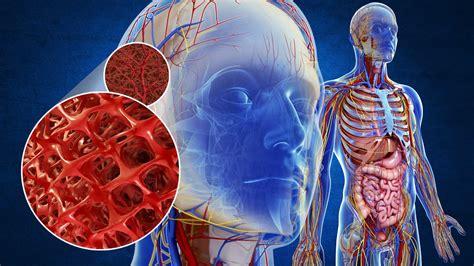 circulatory system youtube