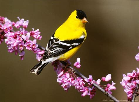 state flower of new jersey american goldfinch state bird of new jersey birds of a