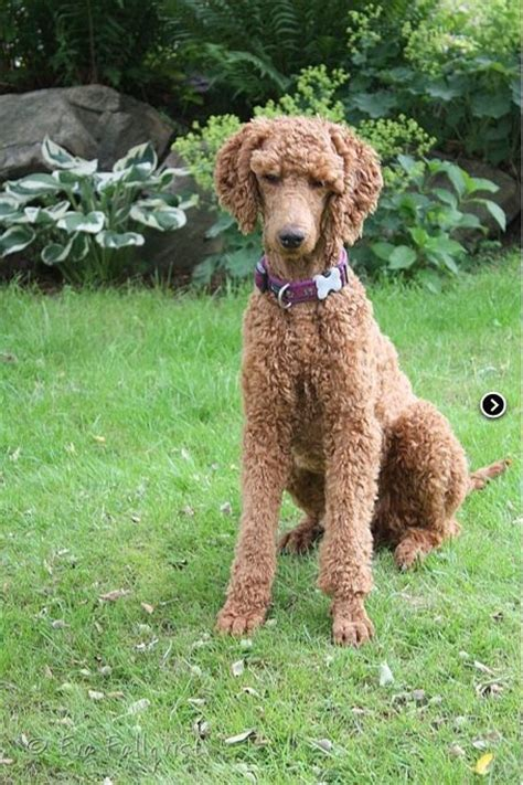 standard poodle face hair cuts 10948 best animal love images on pinterest animals