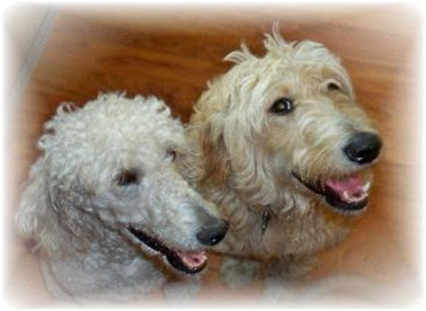 goldendoodle puppy hiccups golden retriever and standard poodle dogs our friends