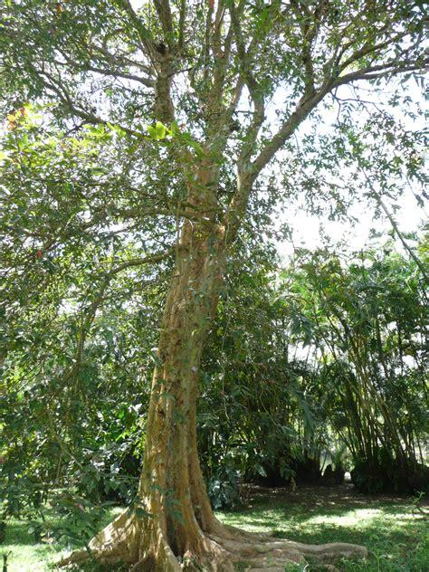 neermaruthu arjun treeterminalia arjuna cure  heart
