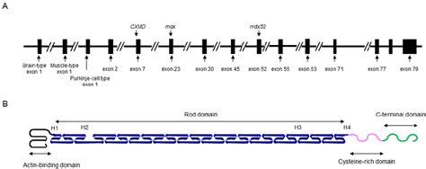schematic illustrations   dmd gene  molecular