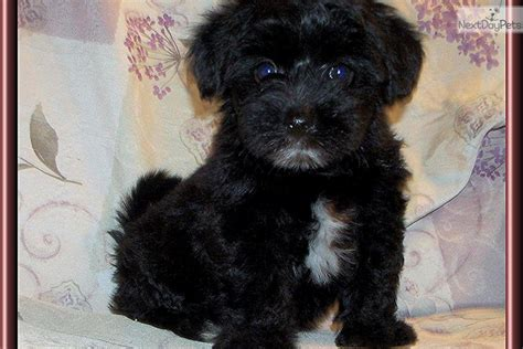 black morkie puppies meet mookie a morkie yorktese puppy for sale for 550 beautiful black