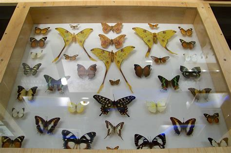 The Collection Collection by File Cas Butterfly Collection Jpg Wikimedia Commons