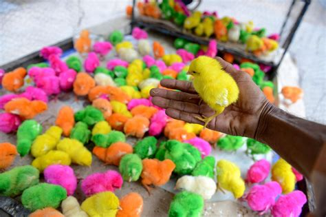 how to a to fetch birds dyed but alive disguised birds skirt laws and fetch high prices