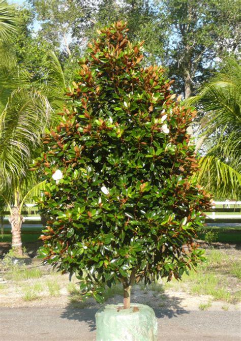 dwarf magnolia tree types www imgkid com the image kid