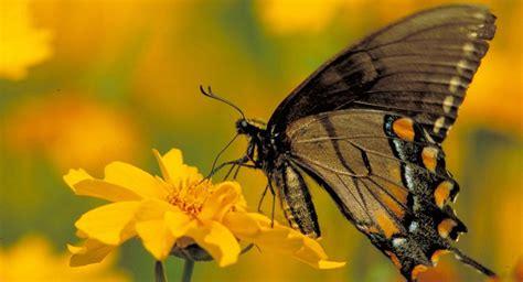 tigre y mariposa imagenes mariposa de alas transparentes im 225 genes y fotos