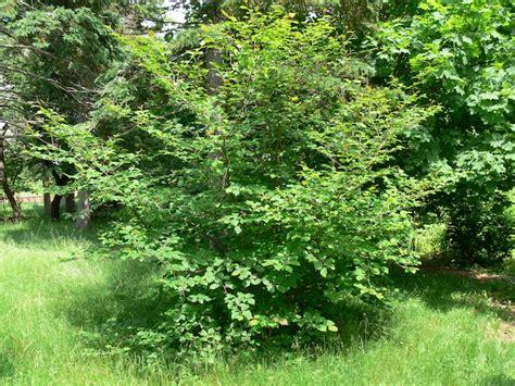 macphail woods witch hazel