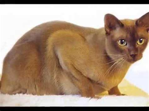 nicest breeds top 10 most friendliest cat breeds