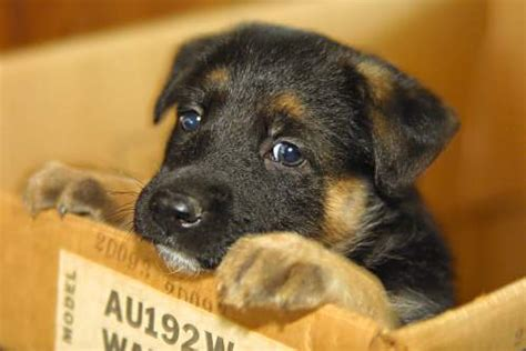 puppy in a box living wilderness german shepherd puppy in a box