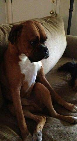 dog misses couch 2242 best boxer dog images on pinterest boxer dogs