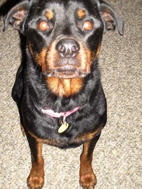 do rottweilers drool do miniature rottweilers exist dogs in our photo