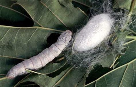 Thread Of The Silkworm inventions made in china