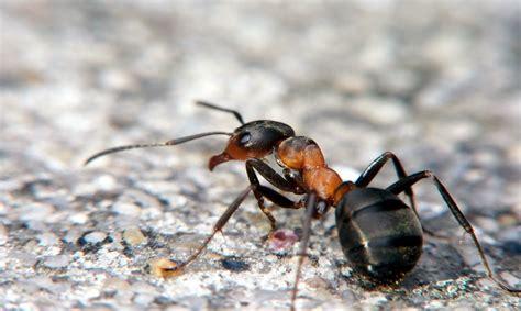 formiche in casa come eliminarle formiche in casa come eliminarle usando uno dei rimedi
