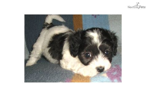 maltipoo puppies for sale in indiana malti poo maltipoo puppy for sale near louisville kentucky fd2b5bb5 2291