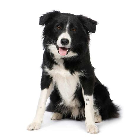 how to a border collie puppy border collie breed 187 information pictures more