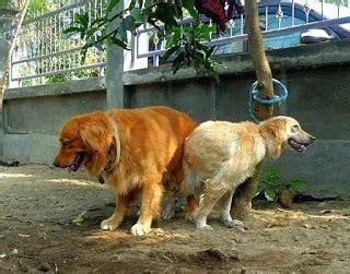 Boneka Hewan Anjing Siberian Husky gambar gambar foto hewan kucing kawin anjing di