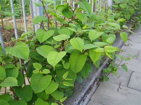 How To Get Rid Of Garden Pests - japanese knotweed plant control methods for japanese knotweed