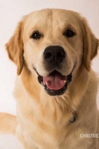 golden retriever breeders south africa retriever breeders south africa photo