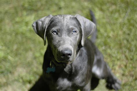 grey lab puppies file silver labrador retriever cooper jpg
