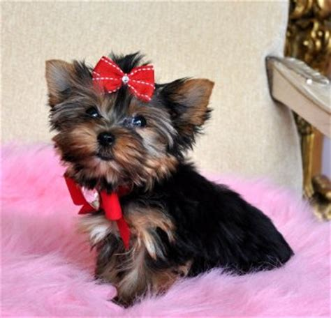 teacup yorkie puppies for sale in orlando yorkie teacup for sale chicago breeds picture